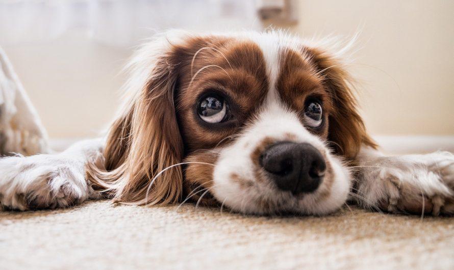 L'assurance pour animaux de compagnie en vaut-elle la peine? Peser le pour et le contre